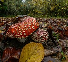 Wild Mushrooms #443TR by Charles & Patricia   Harkins ~ Picture Oregon