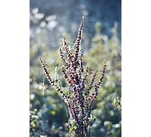 Frosty Plant Photographic Print