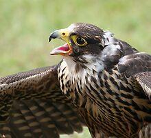 Hawk Quest by Yvette Bielert