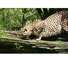 Cheetah On The Prowl Photographic Print