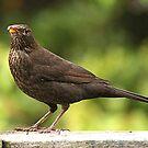 Lady Blackbird.......! by Roy  Massicks