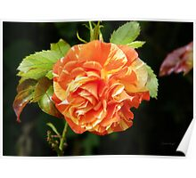 Multi Colored rose Poster