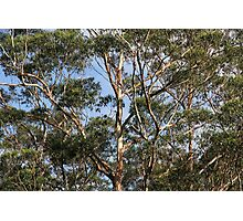 Aussie Bush Sticks: Australian Gum Trees Photographic Print