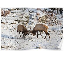 Elk in a fight Poster