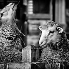 Lambs by Radharc21