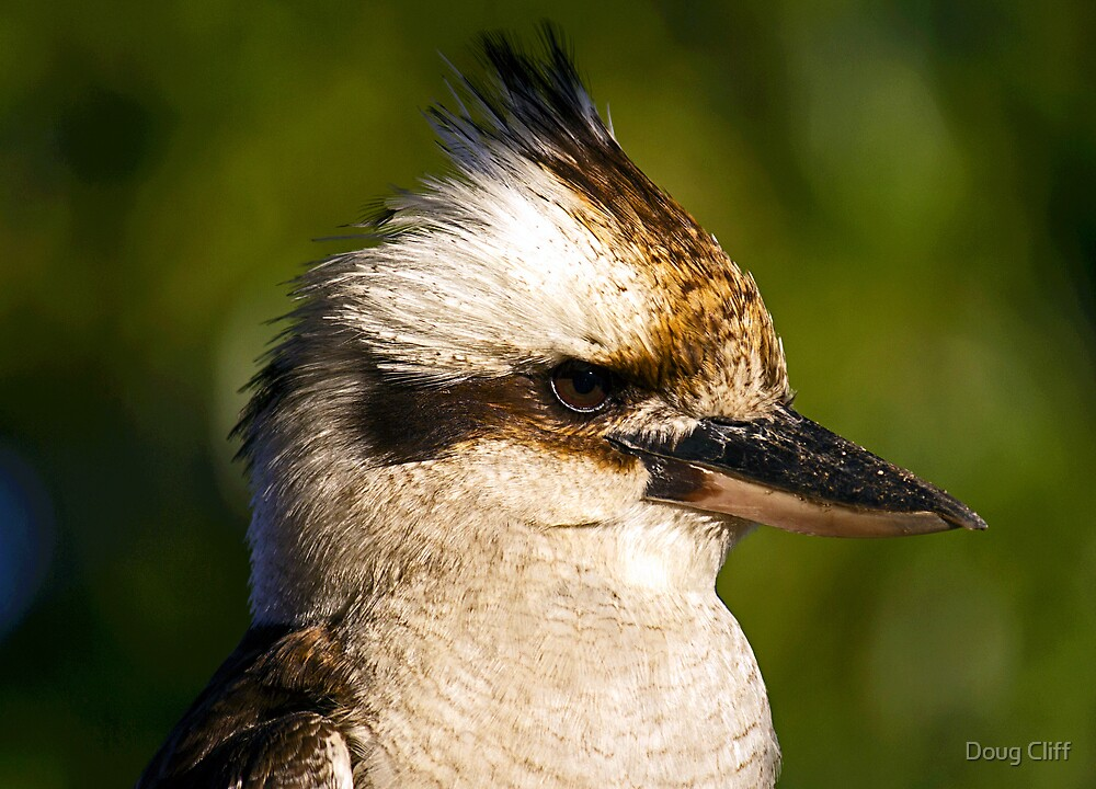 Kookaburra portrait by Doug Cliff