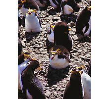 Royal Penguins in the Rookery Photographic Print