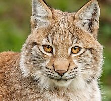 Young Lynx Portrait by Mark Hughes