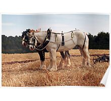 Shire Horse Pair Poster