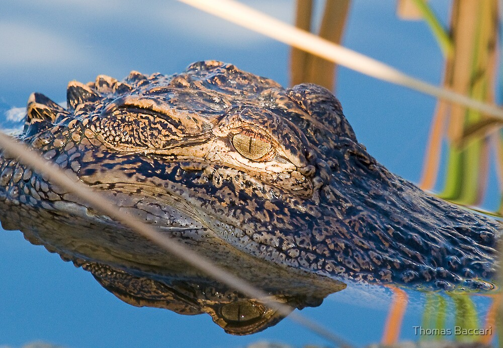 Alligator Eye and Reflection by Photography by TJ Baccari