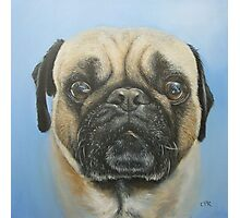 Pug on blue background Photographic Print