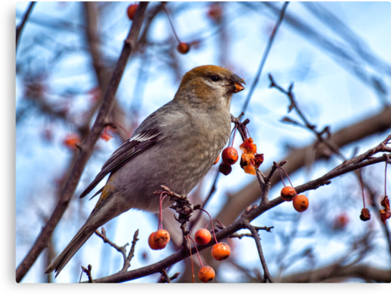Female Pine Grosbeak 1 by Thomas Young