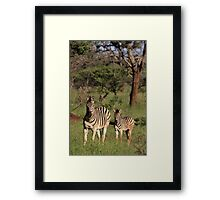Plains Zebra and foal, early morning light (Mkuze Reserve), South Africa 2012 Framed Print