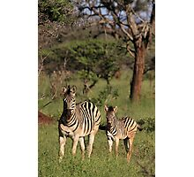 Plains Zebra and foal, early morning light (Mkuze Reserve), South Africa 2012 Photographic Print