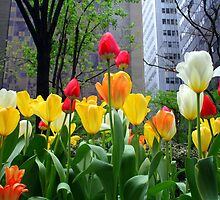 Tulips by Haz Preena