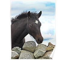 Connemara Pony Foal looking over a stone wall Poster