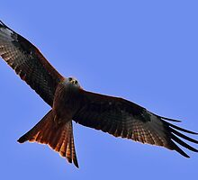 Red Kite (Milvus milvus) by Irina Chuckowree