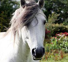 Connemara Pony Stallion by ConnemaraPony