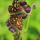 Chequered Skipper butterfly on Purple Flowers (Velingrad) South-West Bulgaria 2012 by Michael Field