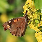 Nettle-Tree Butterfly on Yellow Flowers (Golemo Boliowo) South-West Bulgaria 2012 by Michael Field