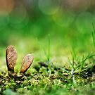 sycamore seed.. by Michelle McMahon