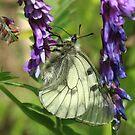 Clouded Apollo butterfly on Purple Flowers, (Velingrad) South-West Bulgaria 2012 by Michael Field