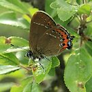 Black Hairstreak butterfly on Blackthorn (Velingrad) South-west Bulgaria 2012) by Michael Field