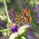 Queen of Spain Fritillary Butterfly (Golemo Boliowo Village) Bulgaria 2012 by Michael Field