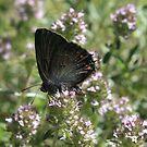 Ilex Hairstreak butterfly on mint flowers, South-West Bulgaria 2012 by Michael Field