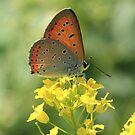 Large Copper Butterfly (Bankso Meadows) South-West Bulgaria 2012 by Michael Field