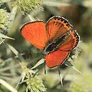 Lesser Fiery Copper Butterfly (Velingrad Meadows) South-West Bulgaria 2012 by Michael Field