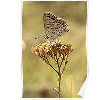 Sooty Copper Butterfly on Flowerhead (Velingrad) South-West Bulgaria 2012 Poster