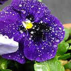 Raindrops on a Purple Pansy by LydiaWoods