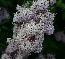 Lilacs by Michael  Kemp