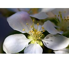 Crabapple Dream Photographic Print