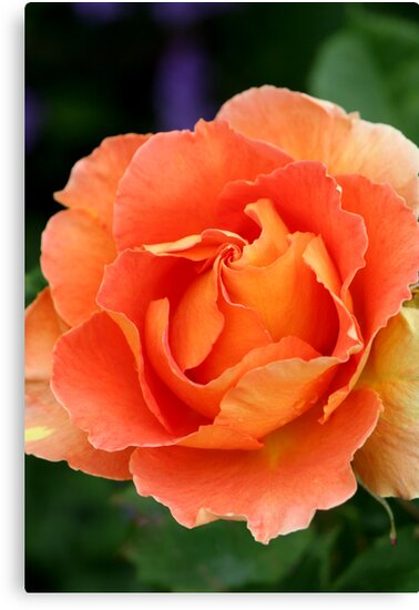 Apricot Rose centre by mooksool