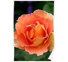 Apricot Rose centre Poster