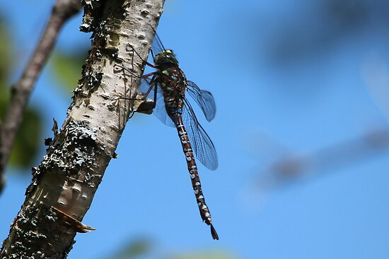 Darner Dragonfly by hummingbirds