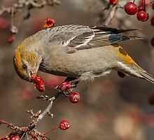 Pine Grosbeak Eating Crabapples by Bill McMullen