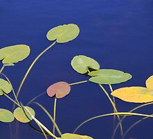 Lily Pad Melody by Rosalie Scanlon