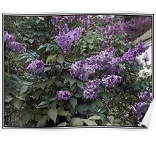 Painted Lilacs Poster