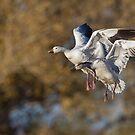 Snow geese landing by Bryan  Keil