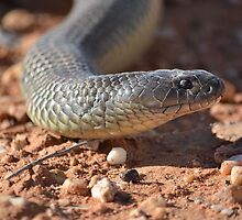 Brown snake sliding his way by.... by Mel  LEE