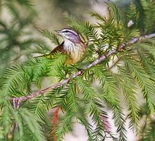 Warbler In The Cypress by Deborah  Benoit