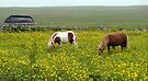 Shetland Ponies at the Croft House Museum, Shetland by Richard Ion