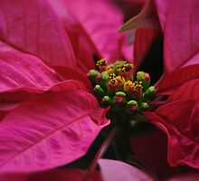 Passionate Pink Poinsettia by Poete100