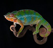Panther Chameleon by jennialexander