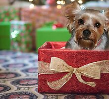 Yorkie in a Box by Rick  Friedle