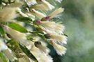 Groundsel Bush by ©Dawne M. Dunton