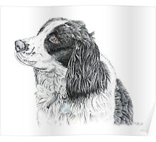 Paddy - King Charles Spaniel Poster